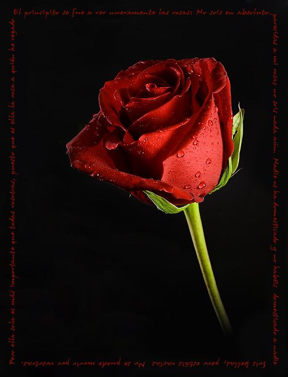 http://are.com.es/fotografias/images/20061112203520_rosa1.jpg
