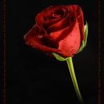 20061112203520_rosa1